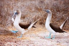 Танец голубого footed олуха сопрягая Стоковое Изображение RF