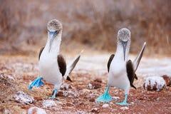 Танец голубого footed олуха сопрягая Стоковые Изображения RF