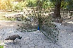 Танец перед женщиной, ухаживание павлина, зоологический сад Askania-Новы национального заповедника, Украина стоковое изображение