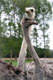 Танец страуса, Новая Зеландия Стоковые Фото