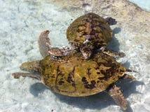 Танец черепах Стоковая Фотография