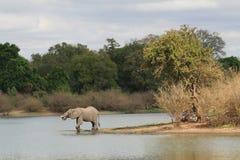 танзаниец слона питья после полудня Стоковое Фото