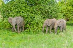 Танзания - национальный парк Tarangire Стоковая Фотография