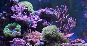 Танк рифа, морской аквариум вполне рыб и заводы Zoanthus Zebrasoma Percula Typus Oxycirrhites, Bleeker Стоковое Фото