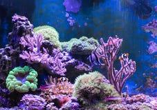 Танк рифа, морской аквариум вполне рыб и заводы Zoanthus Zebrasoma Percula Typus Oxycirrhites, Bleeker Стоковое Изображение RF