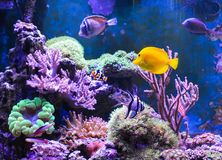 Танк рифа, морской аквариум вполне рыб и заводы Zoanthus Zebrasoma Percula Typus Oxycirrhites, Bleeker Стоковое фото RF