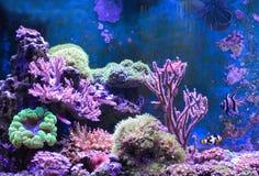 Танк рифа, морской аквариум вполне рыб и заводы Zoanthus Zebrasoma Percula Typus Oxycirrhites, Bleeker Стоковая Фотография RF