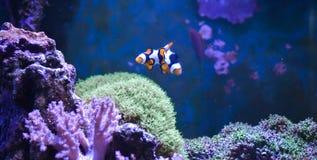 Танк рифа, морской аквариум вполне рыб и заводы Zoanthus Zebrasoma Percula Typus Oxycirrhites, Bleeker Стоковые Изображения