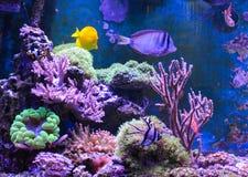 Танк рифа, морской аквариум вполне рыб и заводы Zoanthus Zebrasoma Percula Typus Oxycirrhites, Bleeker Стоковое Изображение