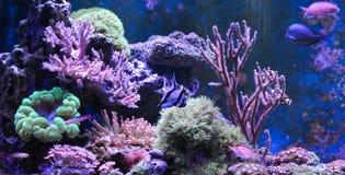 Танк рифа, морской аквариум вполне рыб и заводы Zoanthus Zebrasoma Percula Typus Oxycirrhites, Bleeker Стоковые Фото
