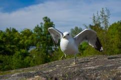Танцевать белая и серая чайка на камне гранита Стоковые Фотографии RF