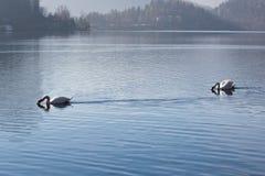 Танцевать 2 красивый лебедей синхронизированный на озере окруженном горами Стоковое фото RF