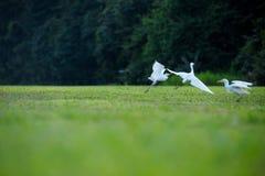танцевать птиц Стоковая Фотография