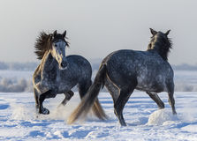 Танцуя андалузские лошади Играть 2 испанский серый жеребцов Стоковое Изображение