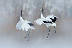 Танцуя пары Красно-увенчанного крана с открытыми крыльями, зимы Хоккаидо, Японии Танец Snowy в природе Ухаживание красивая большо стоковое фото rf