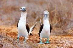 Танцулька голубого footed олуха сопрягая Стоковое Изображение