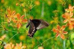 Танцы бабочки в цветках Стоковое Изображение RF