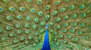 Танцы павлина Стоковые Фотографии RF