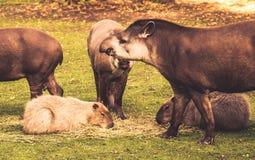 Тапиры низменности Стоковая Фотография