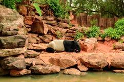 Тапир в зоопарке Стоковое фото RF