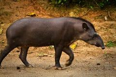 Тапир в тропическом лесе Амазонки, национальном парке Yasuni Стоковое Изображение RF