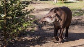 Тапир низменности Стоковое фото RF