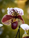 Тапочка ` Венеры, орхидея purpurascens Paphiopedilum Стоковые Изображения