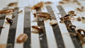 Тараканы взгляда со стороны небольшие борясь на уловителе видеоматериал