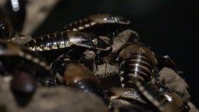 Тараканы, плотв, насекомые, природа сток-видео