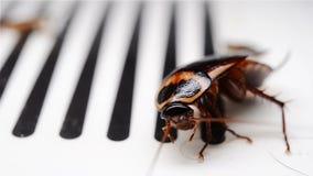 Таракан борясь на крупном плане улавливателя сток-видео