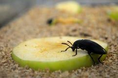 Таракан есть яблоко, насекомые ест плод как раз как мы стоковое изображение