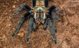 Таракан еды hainanum Haplopelma женский Стоковые Изображения
