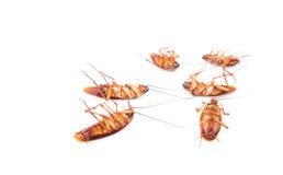 Таракан крупного плана мертвый на белой предпосылке Стоковое фото RF