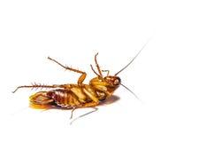 Таракан мертвый на белой предпосылке Стоковое фото RF
