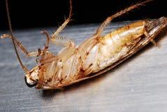 таракан мертвый Стоковая Фотография RF