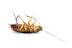таракан мертвый Стоковое Фото