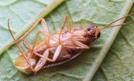 таракан мертвый Стоковые Изображения RF