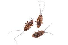 Таракан на белой предпосылке Стоковые Изображения RF