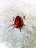 Таракан плотвы Стоковое фото RF