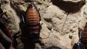 Таракан сидя на каменной поверхности видеоматериал