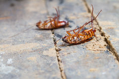 Таракан смерти стоковое изображение