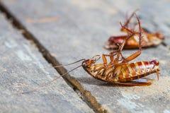 Таракан смерти стоковое изображение rf