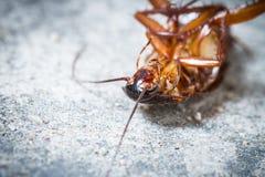 Таракан смерти стоковое фото