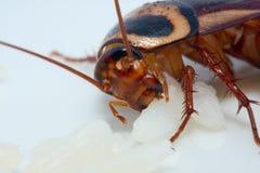 таракан уродский Стоковая Фотография RF