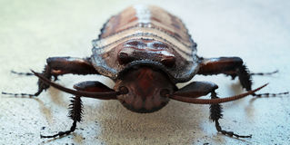 таракан шипя Мадагаскар Стоковые Изображения