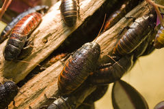 таракан Стоковые Фотографии RF