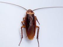 таракан Стоковая Фотография RF