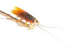 таракан Стоковое Изображение