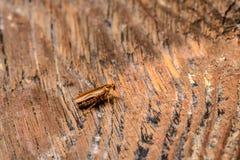 Таракан germanica Blattella немецкий стоковые изображения rf