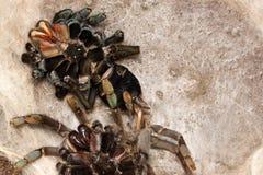 Тарантул hainanum Haplopelma после изменять ее кожу Стоковое Фото